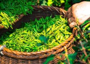 Grüner Tee – ein Tee mit vielen Fähigkeiten