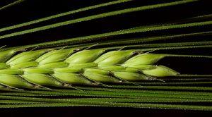 Gerstengras sind die jungen Blätter der Gerste