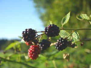 Brombeeren enthalten viele Flavonoide