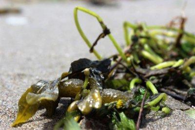 Algen enthalten sehr viel Jod