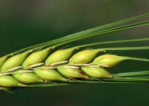 Warum Gerstengras eines der gesündesten Lebensmittel ist
