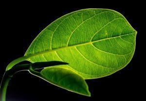 Chlorophyll wird auch als Blattgrün bezeichnet