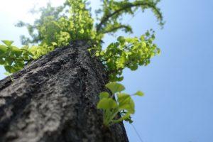 Der Ginkgo Baum