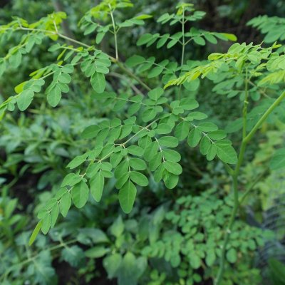 Die Moringa Pflanze