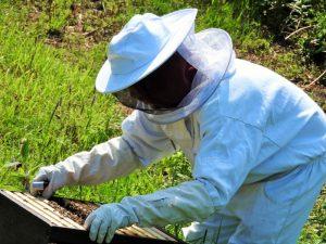 cPropolis wird von der Biene produziert