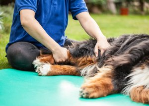 Grünlippmuschel für Hunde - Wirkung und Anwendung