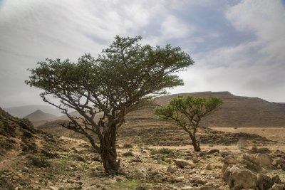 Der Weihrauchbaum enthält die Boswelliasäure