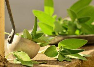 Salbei als Heilkraut - Wirkung und Anwendung