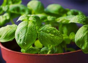 Basilikum - Gewürz und Heilpflanze